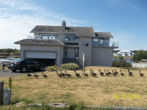 Geese crossing in front of our house :)